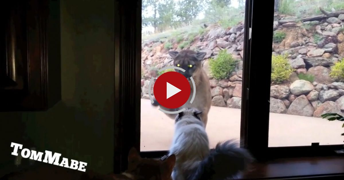 Brave Pet Cat Stands Up To Mountain Lion - Cute Cats VS Mountain Lion