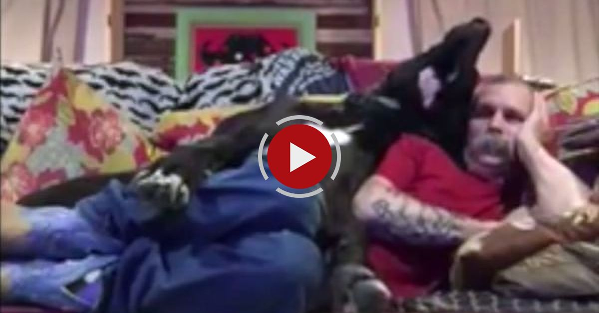 Adorable Great Dane Refuses To Let Owner Relax On The Couch
