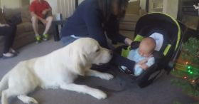 Golden Retriever Meets Our Baby For The First Time