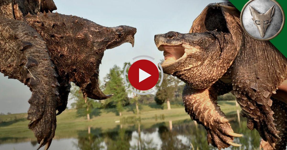 Amazoncom Safari Ltd Incredible Creatures Alligator