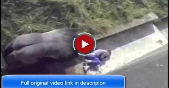 Child Falls Into Gorilla Pit At Zoo