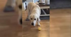 Golden Retriever Tasting Lemon