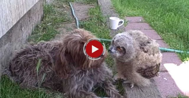 Owl Love For A Dog