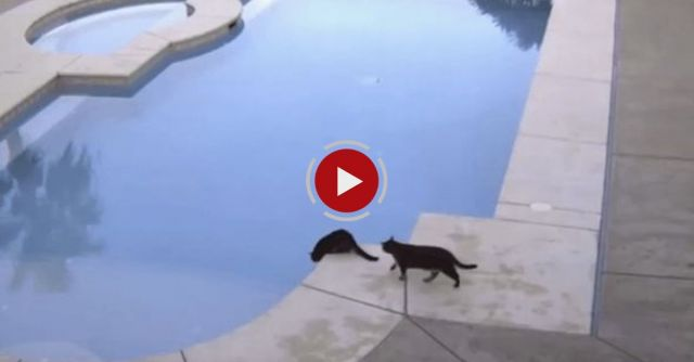 Cat Pushes Brother Into Pool