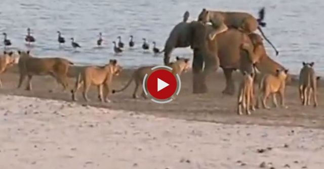 Elephant Survives Attack From 14 Lions